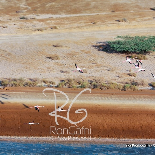 Greater Flamingo (Phoenicopterus roseus), Red sea Eilat.